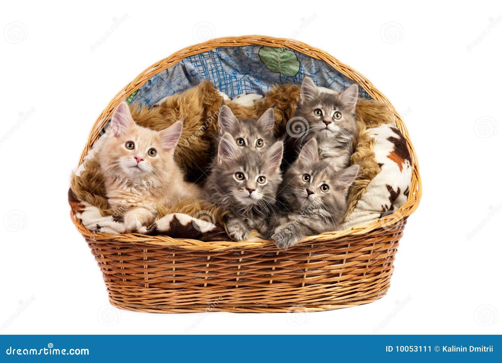 Os gatinhos do coon de Maine