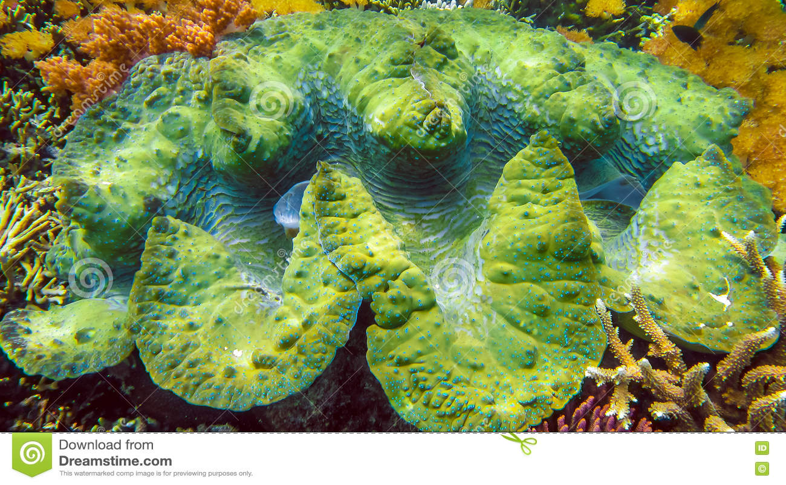 Os gigas coloridos do Tridacna dos moluscos gigantes crescem no raso de Raja Ampat, Indonésia