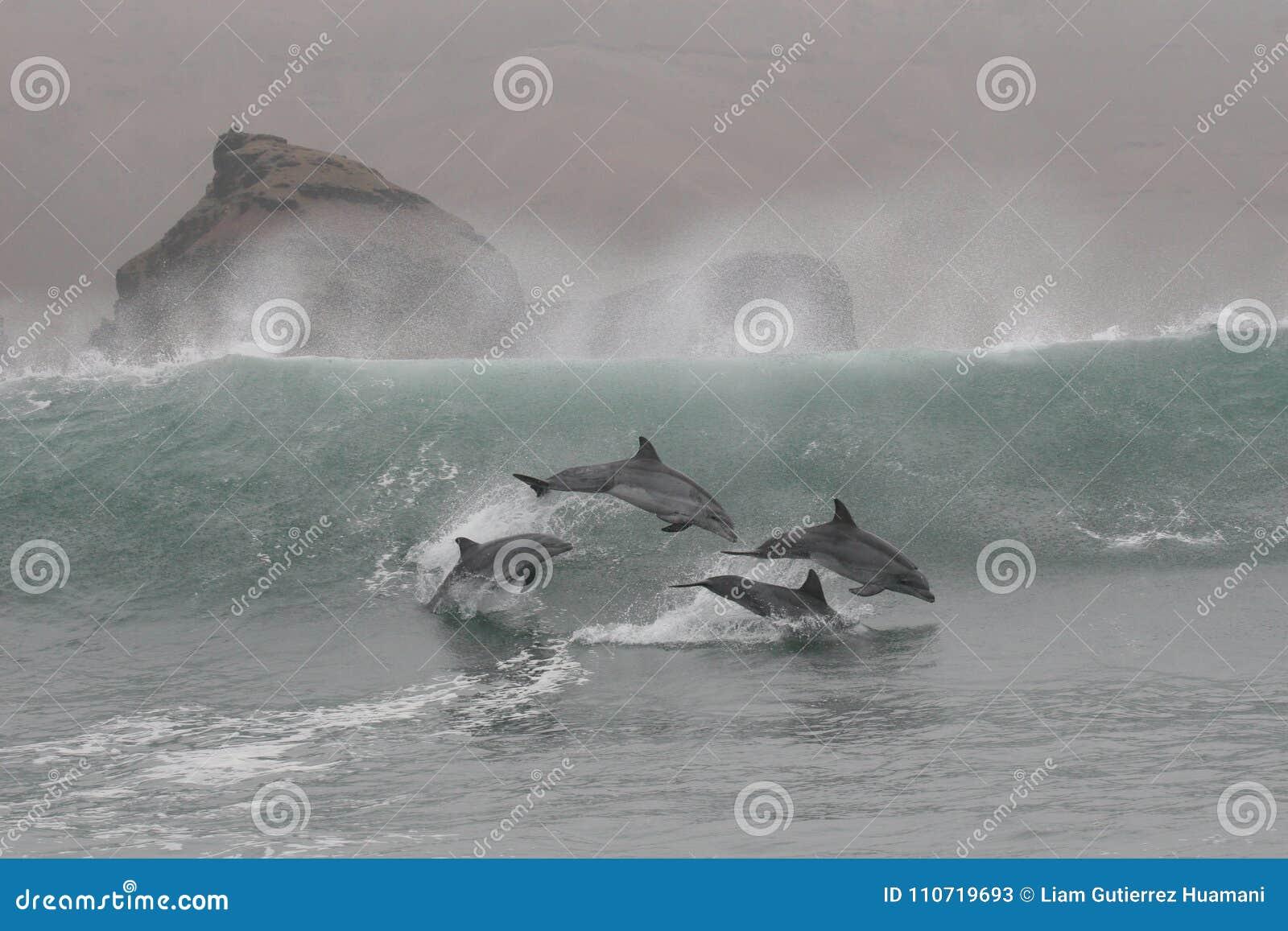 Os golfinhos de Bottlenose que saltam nas ondas de Chilca encalham, ao sul de Lima, o Peru