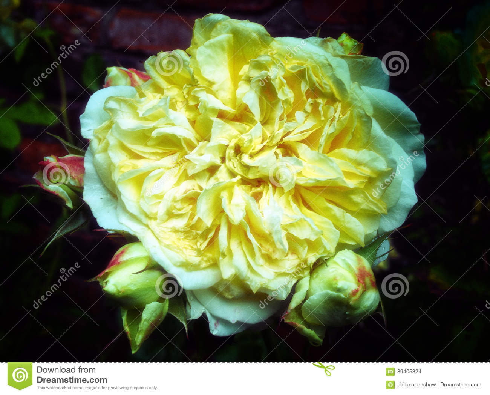 Os grandes amarelos desvaneceram-se cor-de-rosa