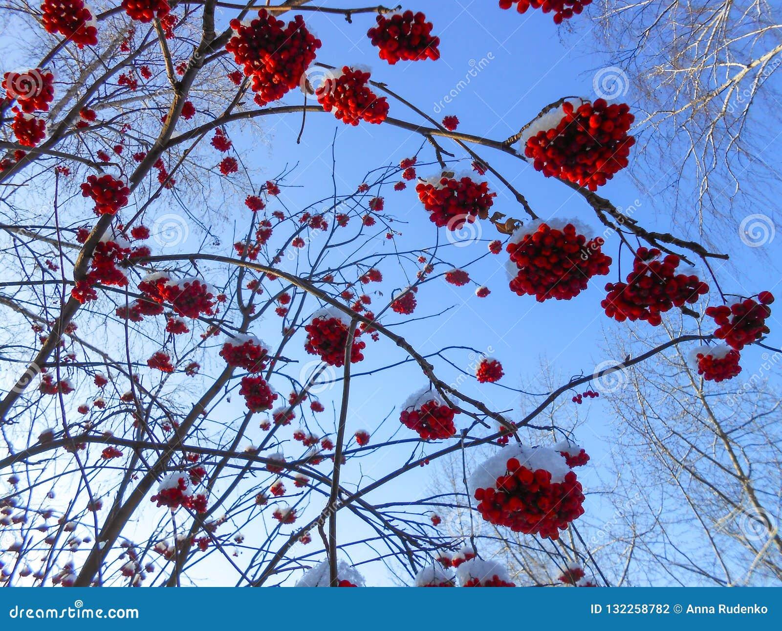 Os grupos maduros suculentos de bagas de Rowan penduram nos ramos, polvilhados