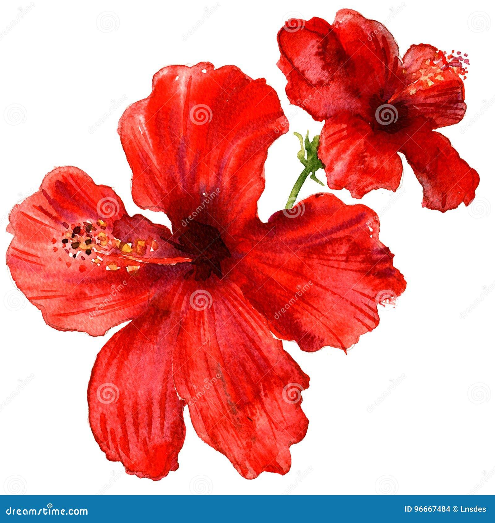 Os hibiscus vermelhos florescem, as plantas tropicais isoladas, ilustração da aquarela no branco