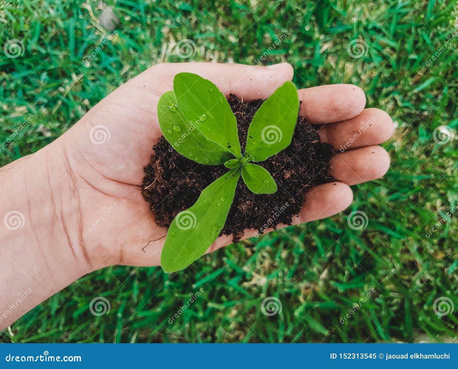 Os homens entregam a abraço uma planta verde pequena germe novo O conceito da ecologia, proteção ambiental - conceito de salvagua