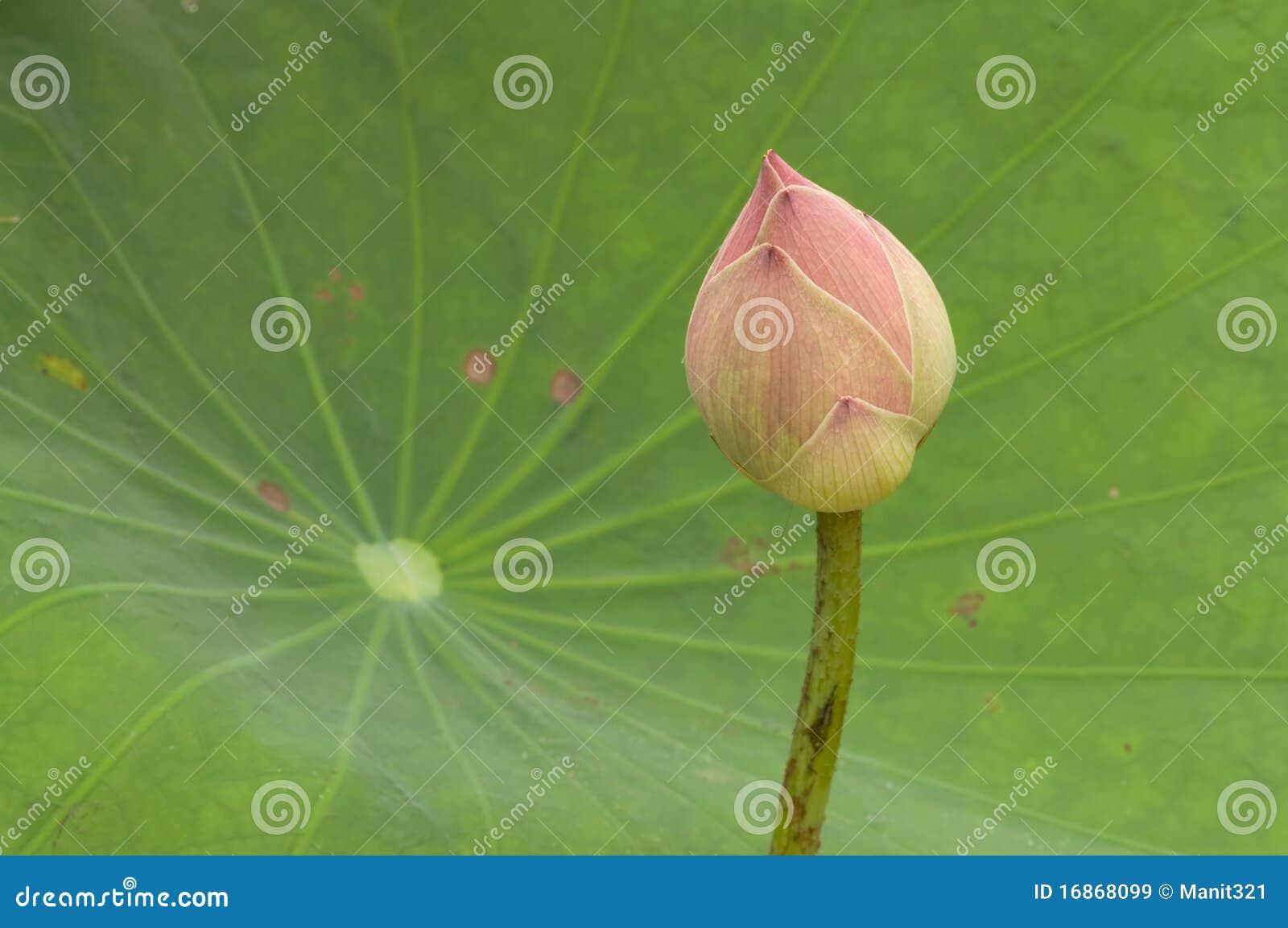 Os lótus cor-de-rosa brotam de encontro à folha verde.