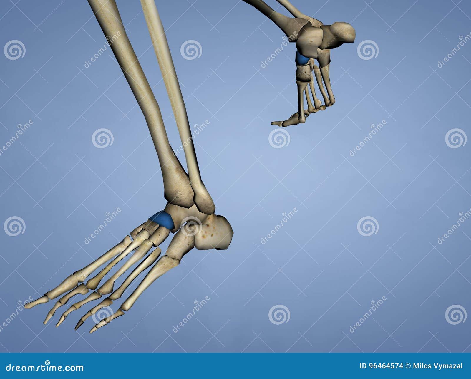 Os naviculare, Modell 3D stock abbildung. Illustration von anatomie ...