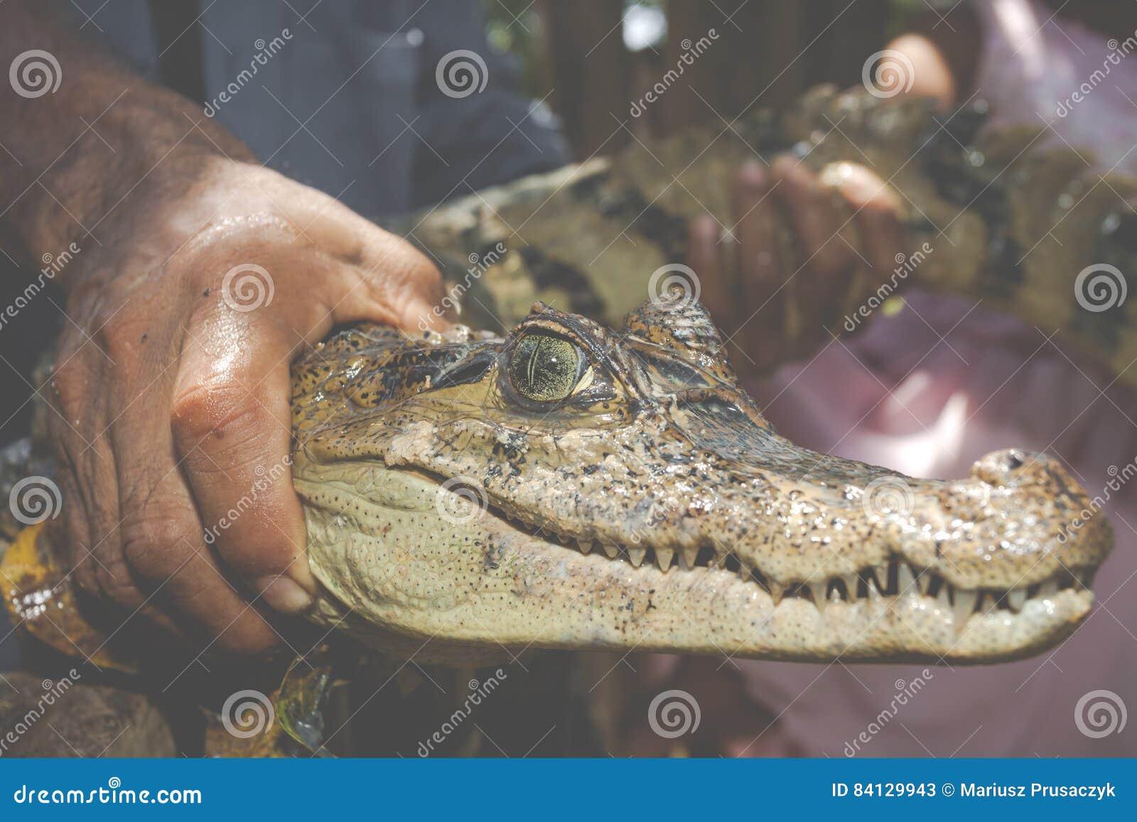 Os olhos do caimão preto novo capturaram por um nativo da selva
