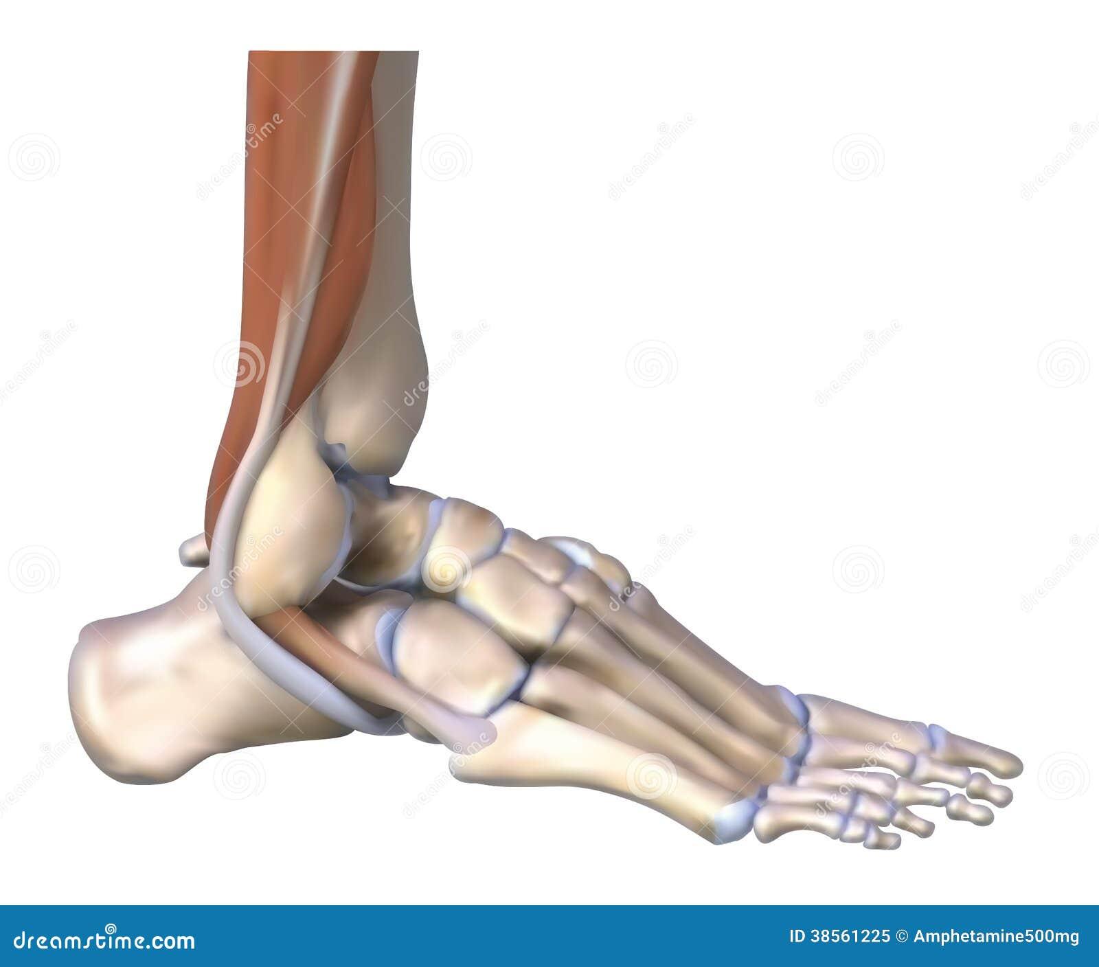 Os ossos e os tendões de pé