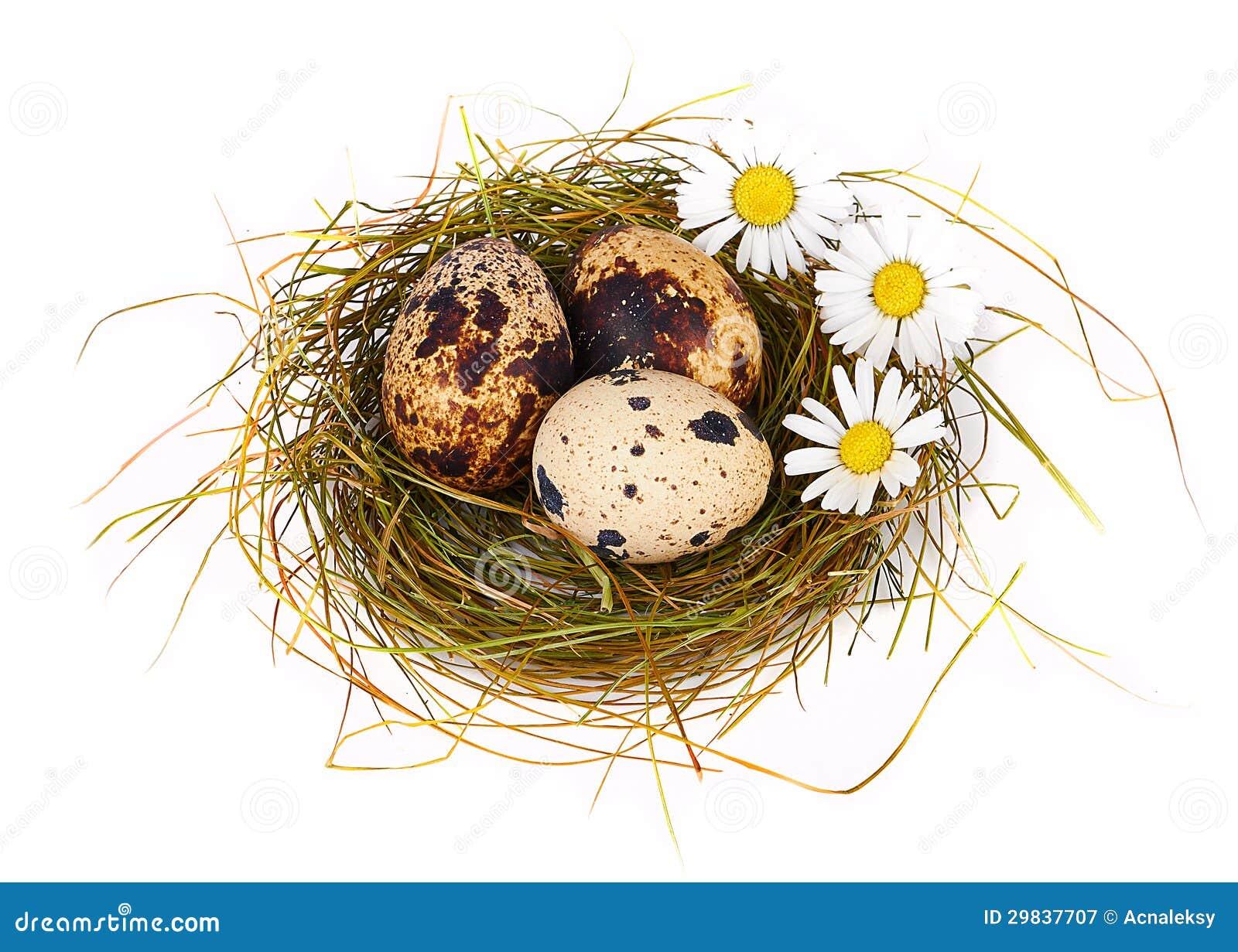 Os ovos e as camomilas de codorniz em um Easter aninham-se