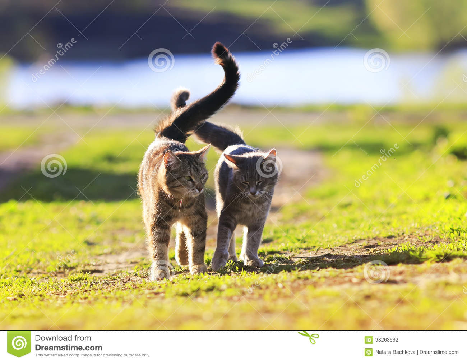 Os pares de amantes listraram o gato que anda na grama verde ao lado de um Sun