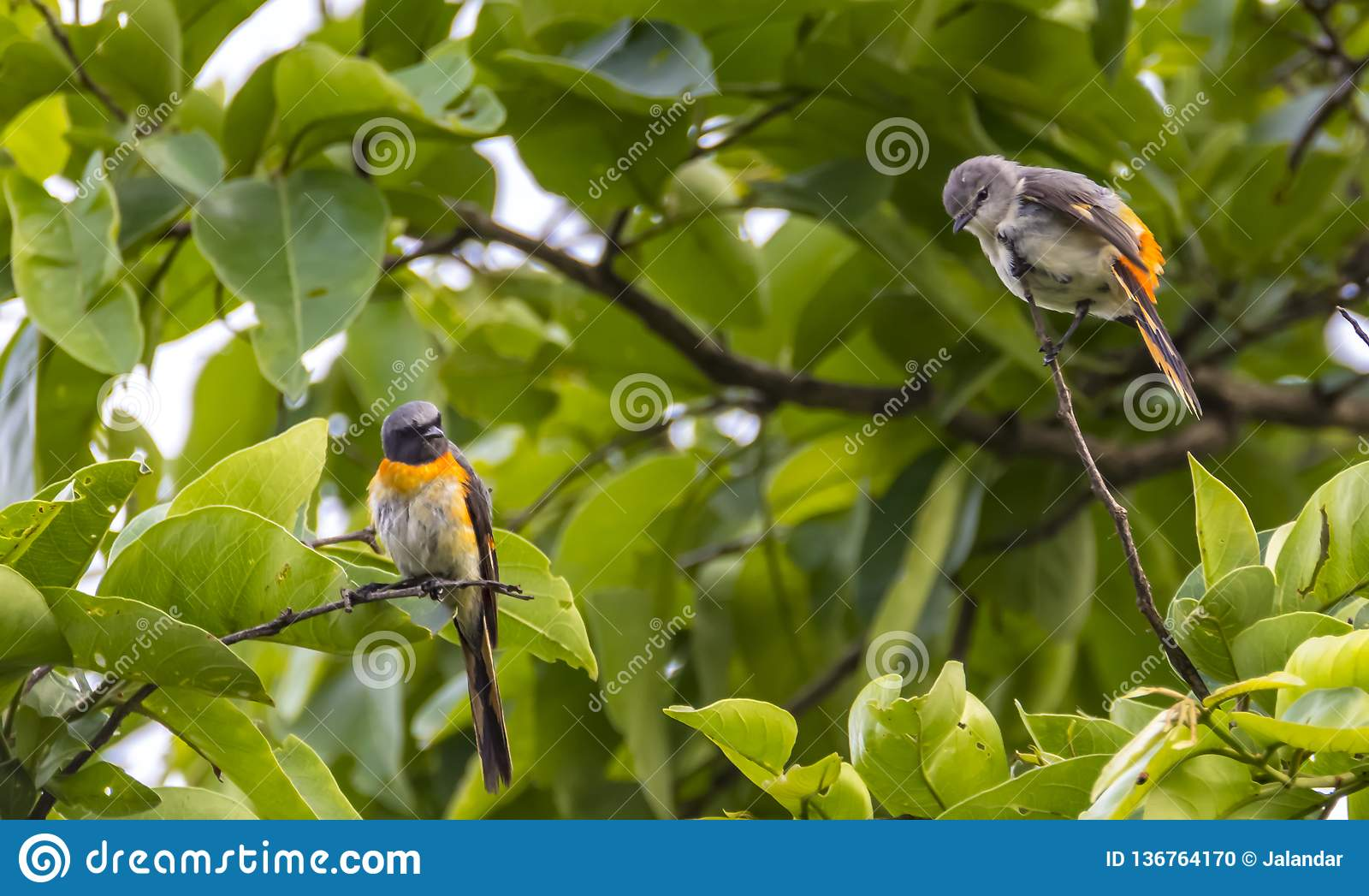Os pares pequenos do cinnamomeus de Pericrocotus do minivet
