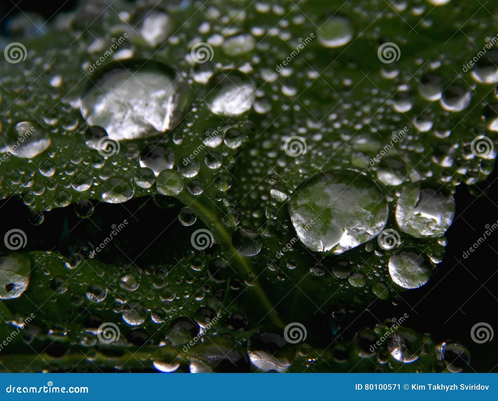 Os pingos de chuva na planta esverdeiam a folha em uma imagem preto e branco