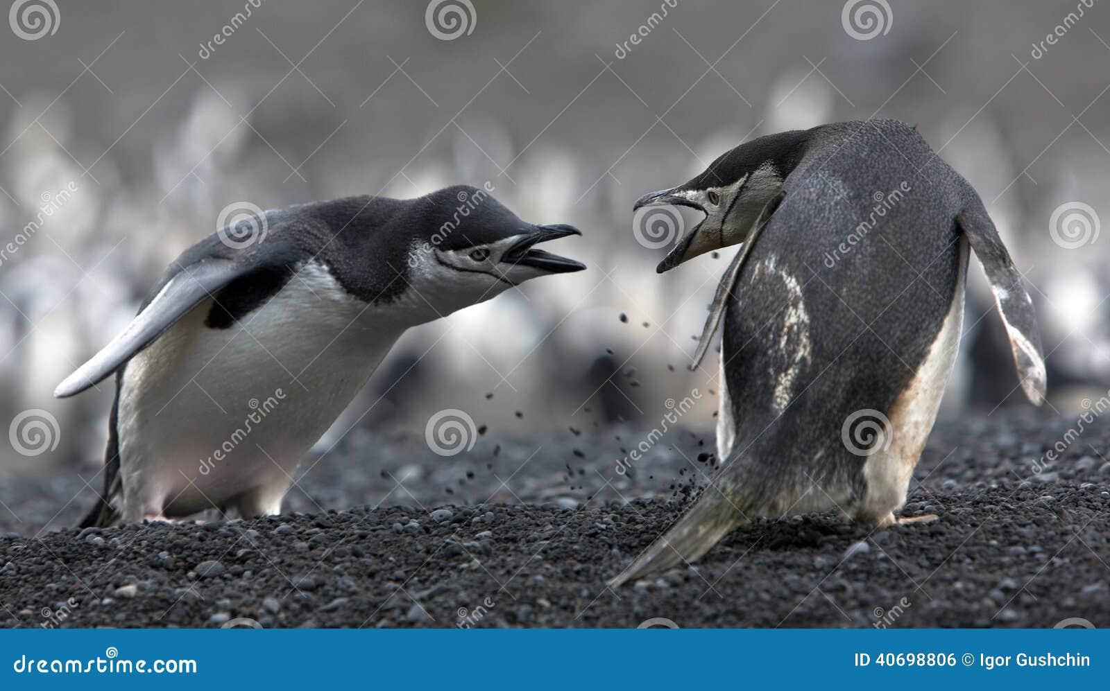 Os pinguins do Antarctic do conflito