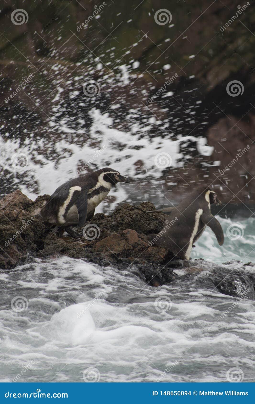 Os pinguins em ?m?rica do Sul preparam-se para uma nadada