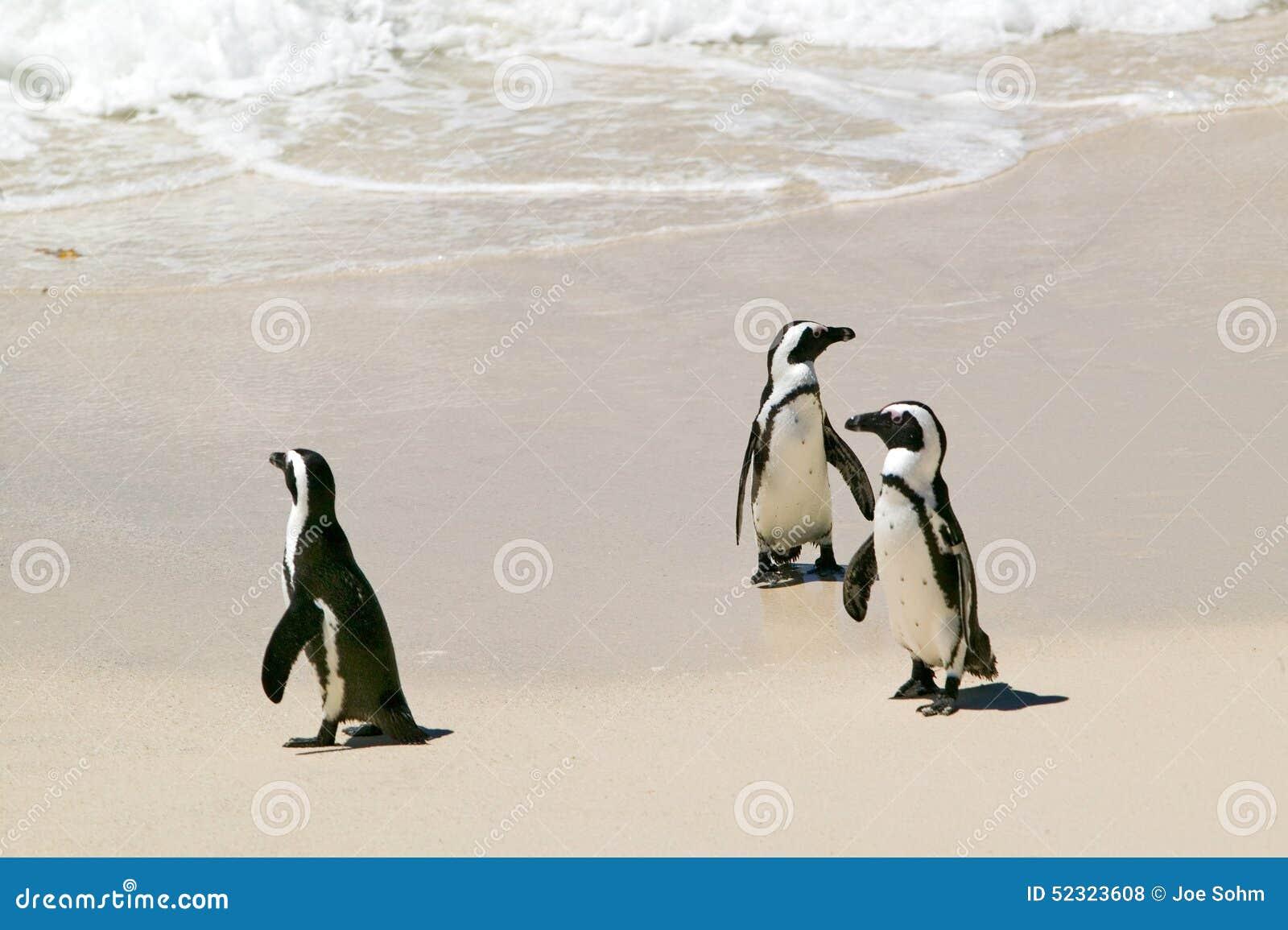 Os pinguins em pedregulhos encalham, fora de Cape Town, África do Sul