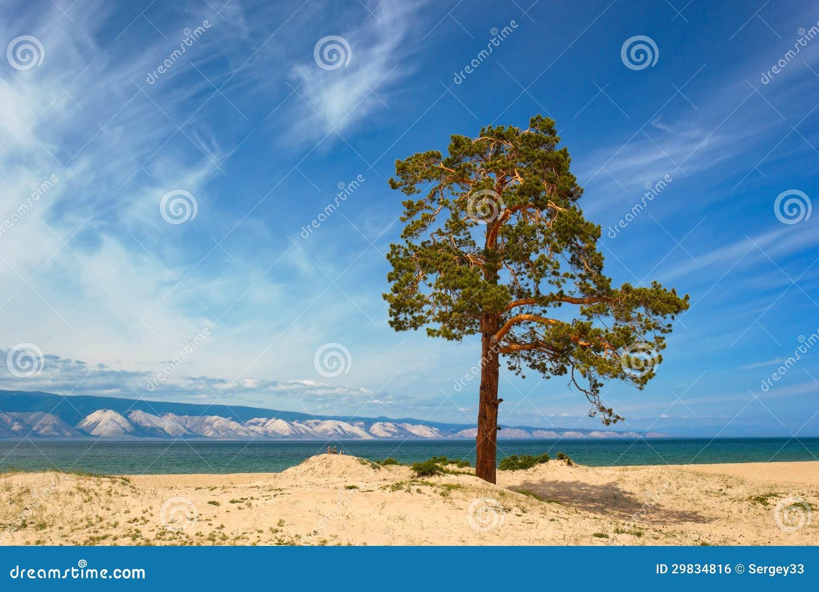 Pinhos na ilha Olkhon