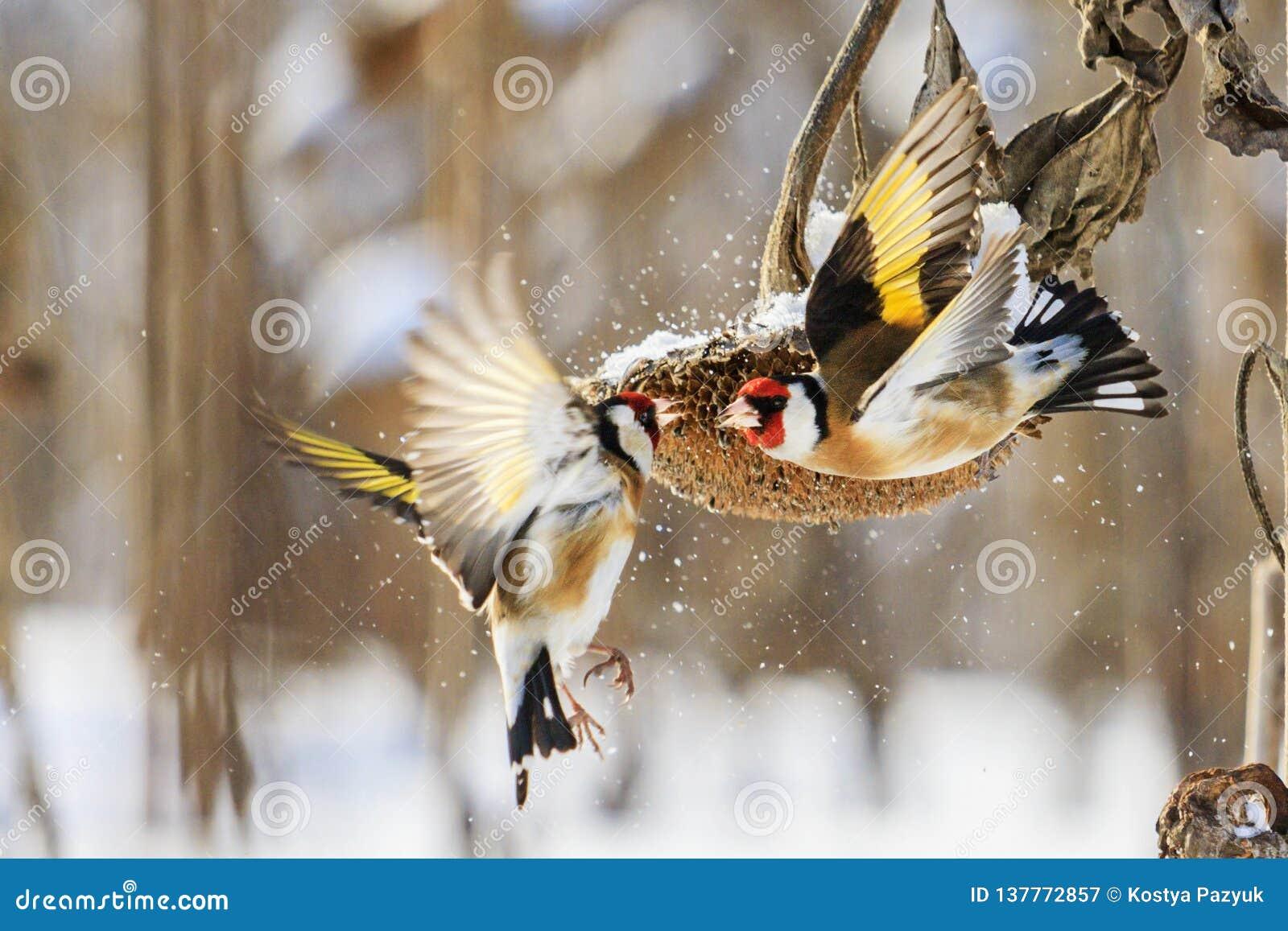 Os pintassilgos lutam no inverno pelo girassol