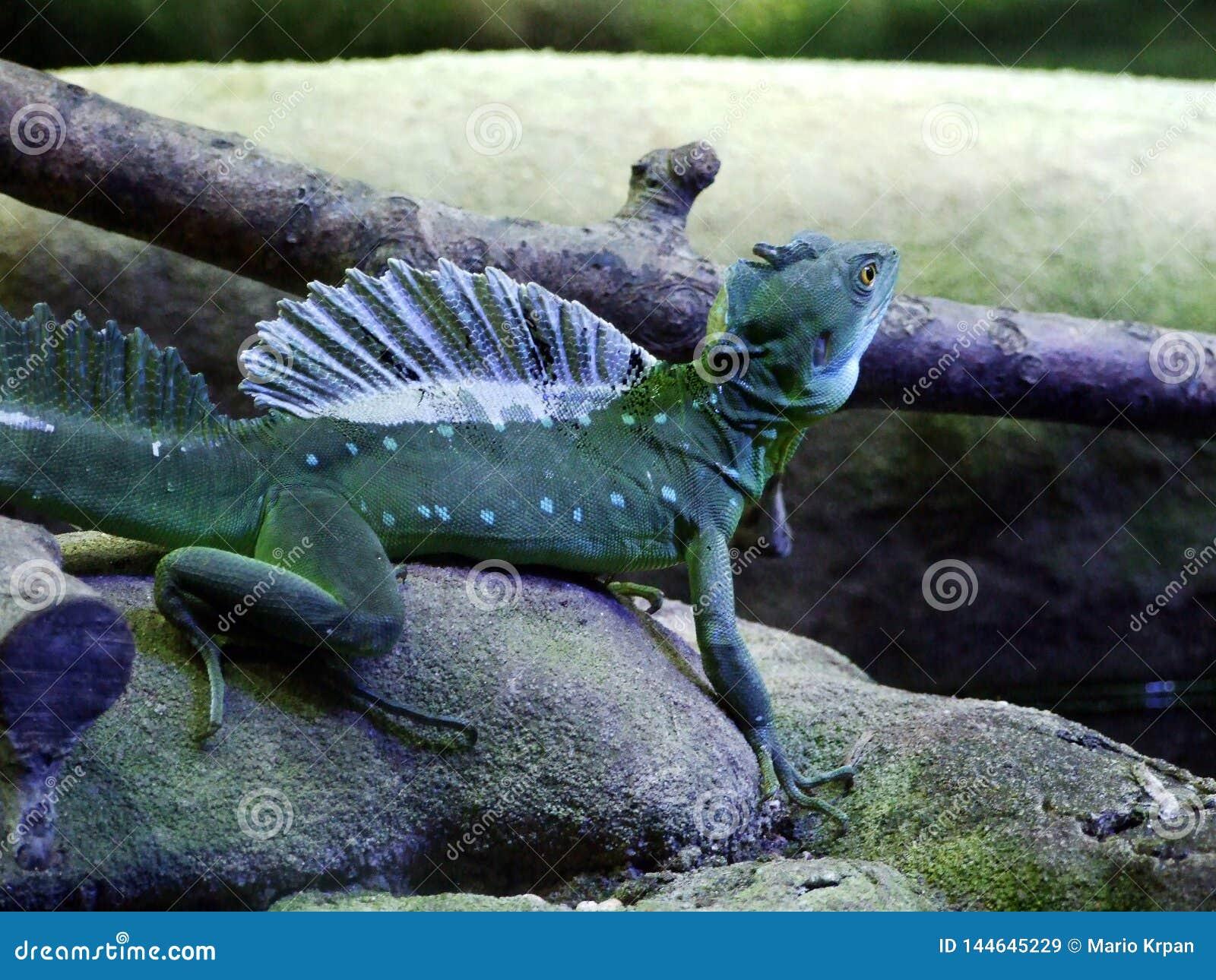 Os plumifrons plumed do Basiliscus do basilisco, o basilisco verde, o basilisco com crista dobro, o lagarto de Jesus Christ ou o