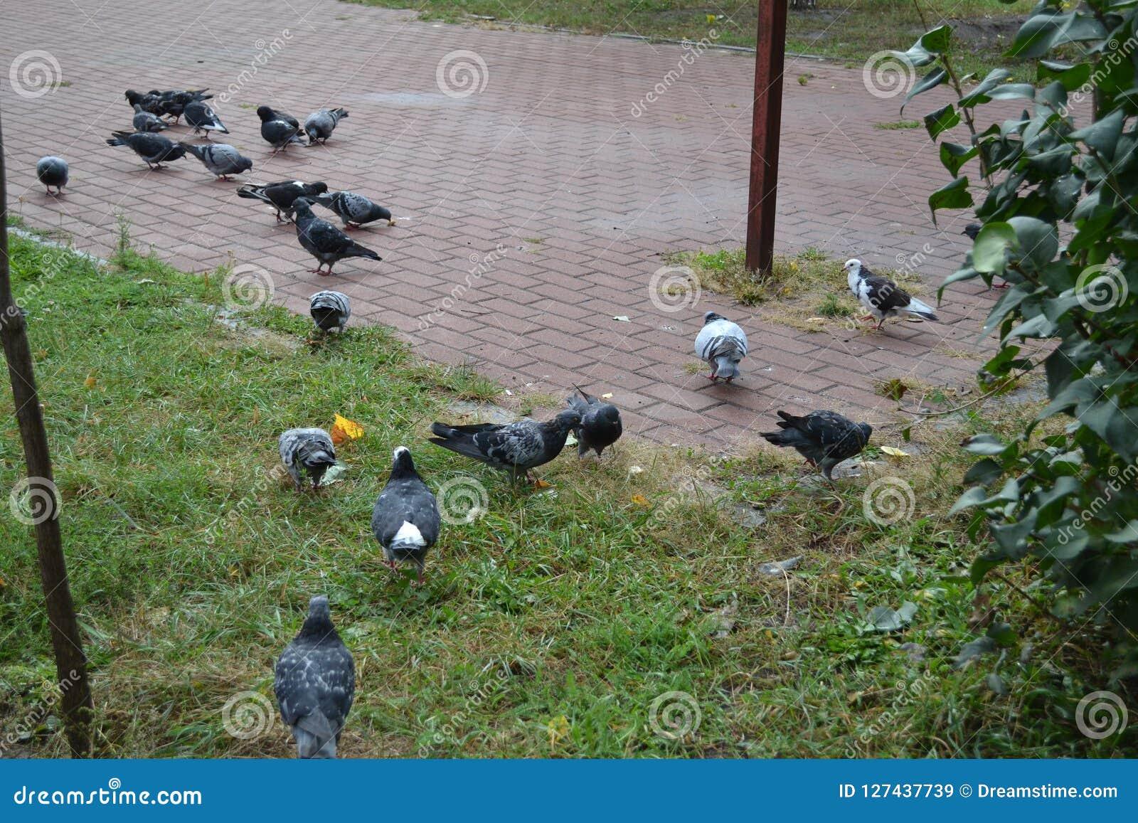 Os pombos estão procurando o alimento que recolhem migalhas
