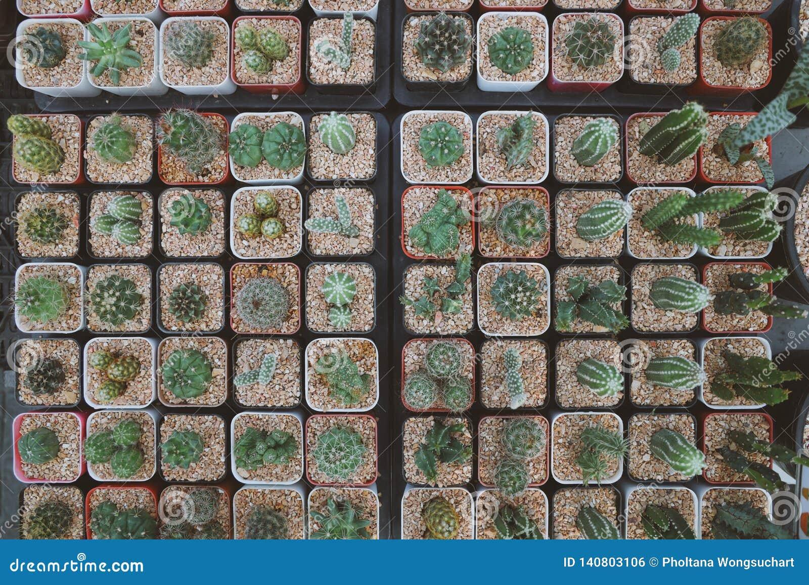 Os potenciômetros na forma quadrada, puseram muitas plantas do cacto em uns potenciômetros