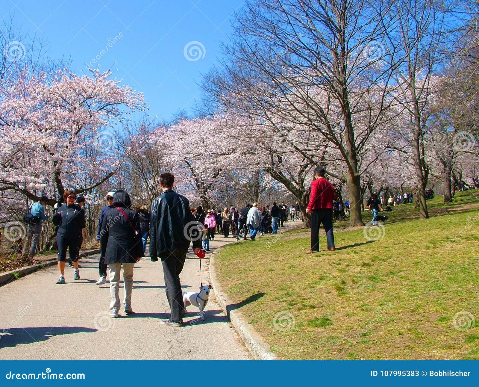 Os povos apreciam as flores de cerejeira da mola no ` s de Toronto, parque alto