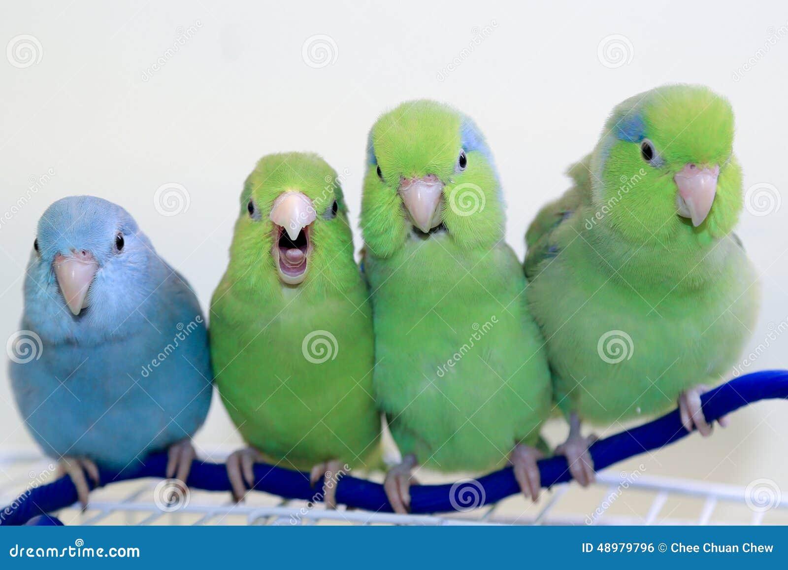 Os quatro parrotlets do amigo