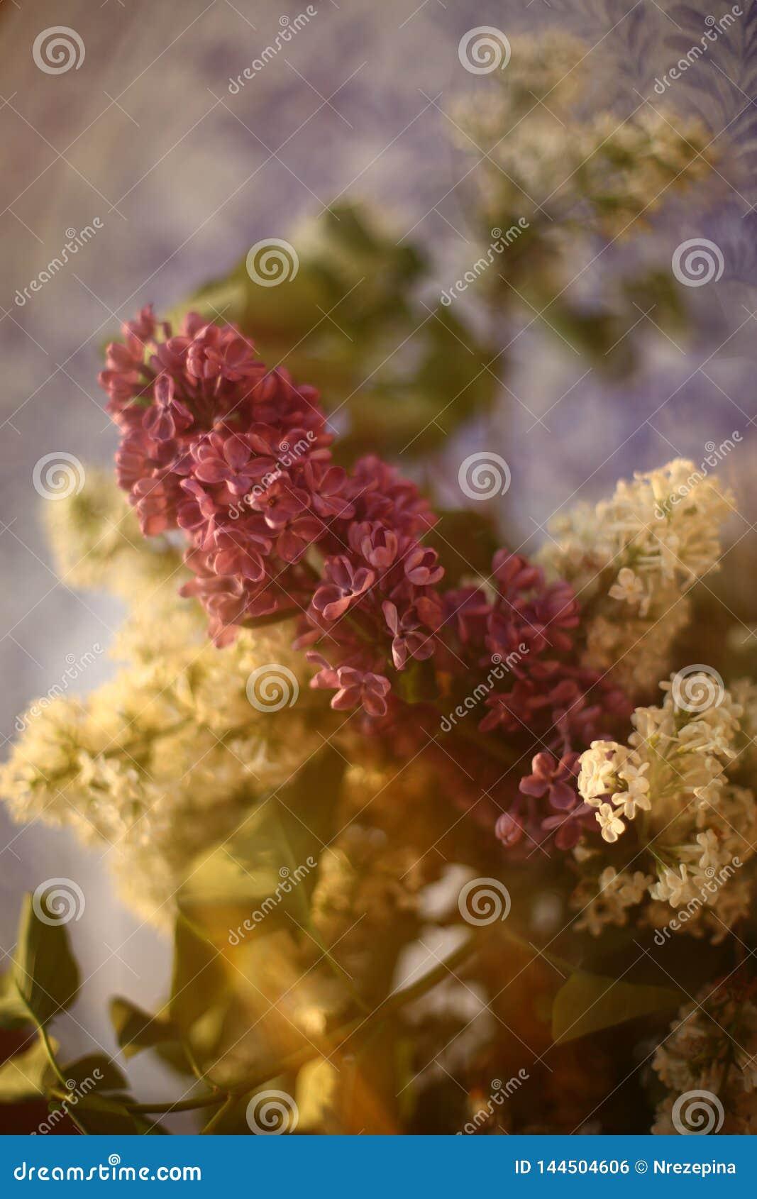 Os ramos da sirene branca e roxa em um vaso