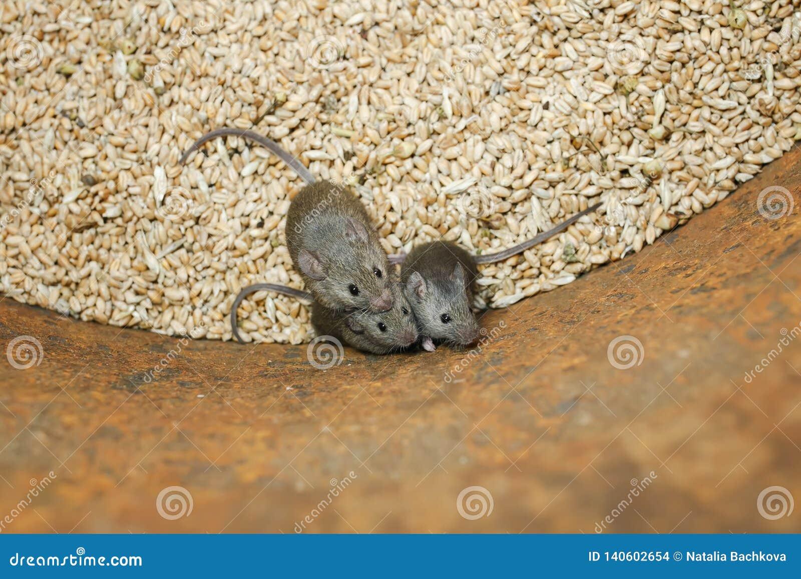 Os ratos cinzentos pequenos dos roedores engraçados sentam-se em um tambor com um estoque de grões do trigo, estragam-se a colhei