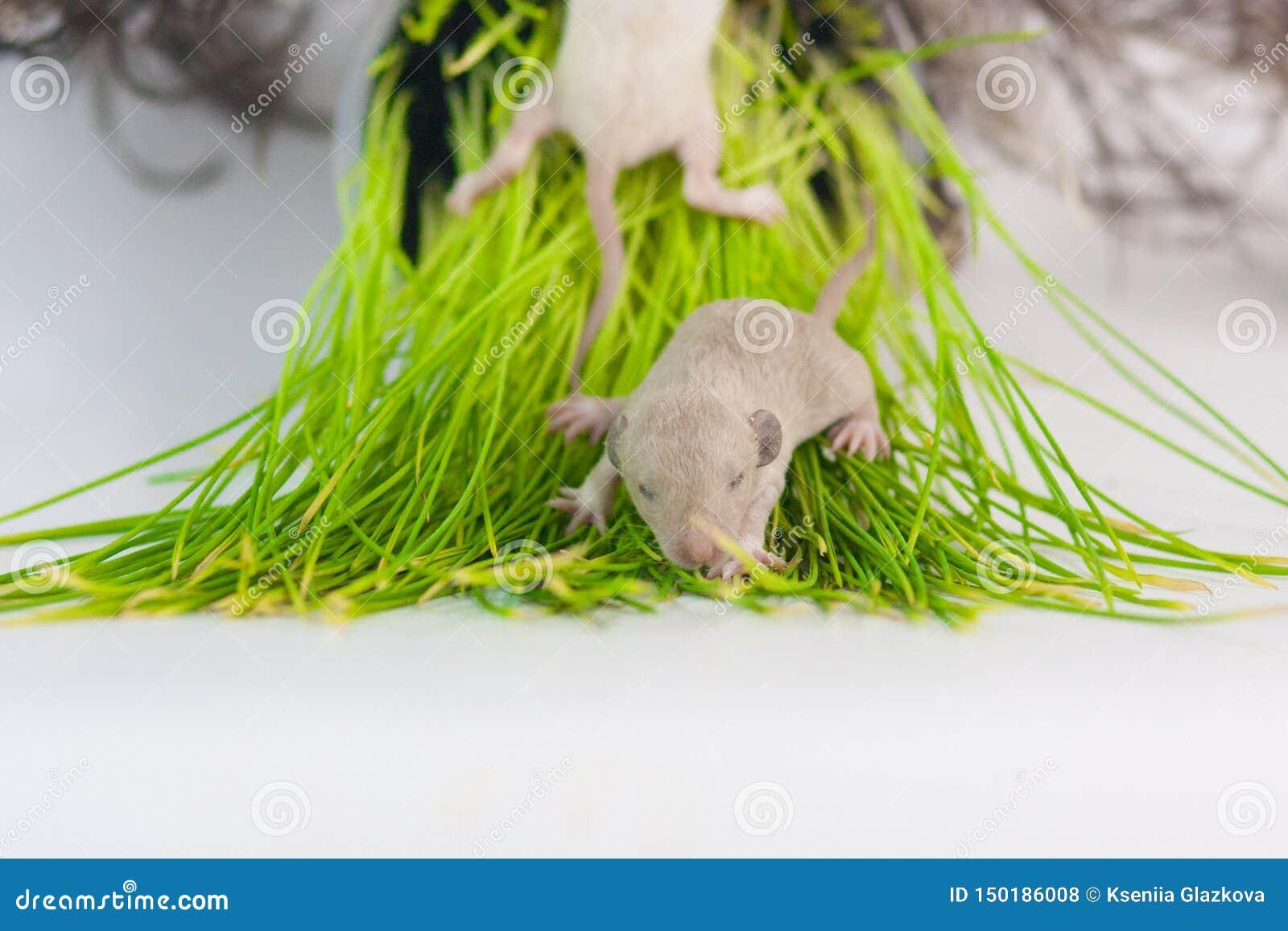 Os ratos encontram-se na grama verde Pouco close up recém-nascido dos roedores do bebê