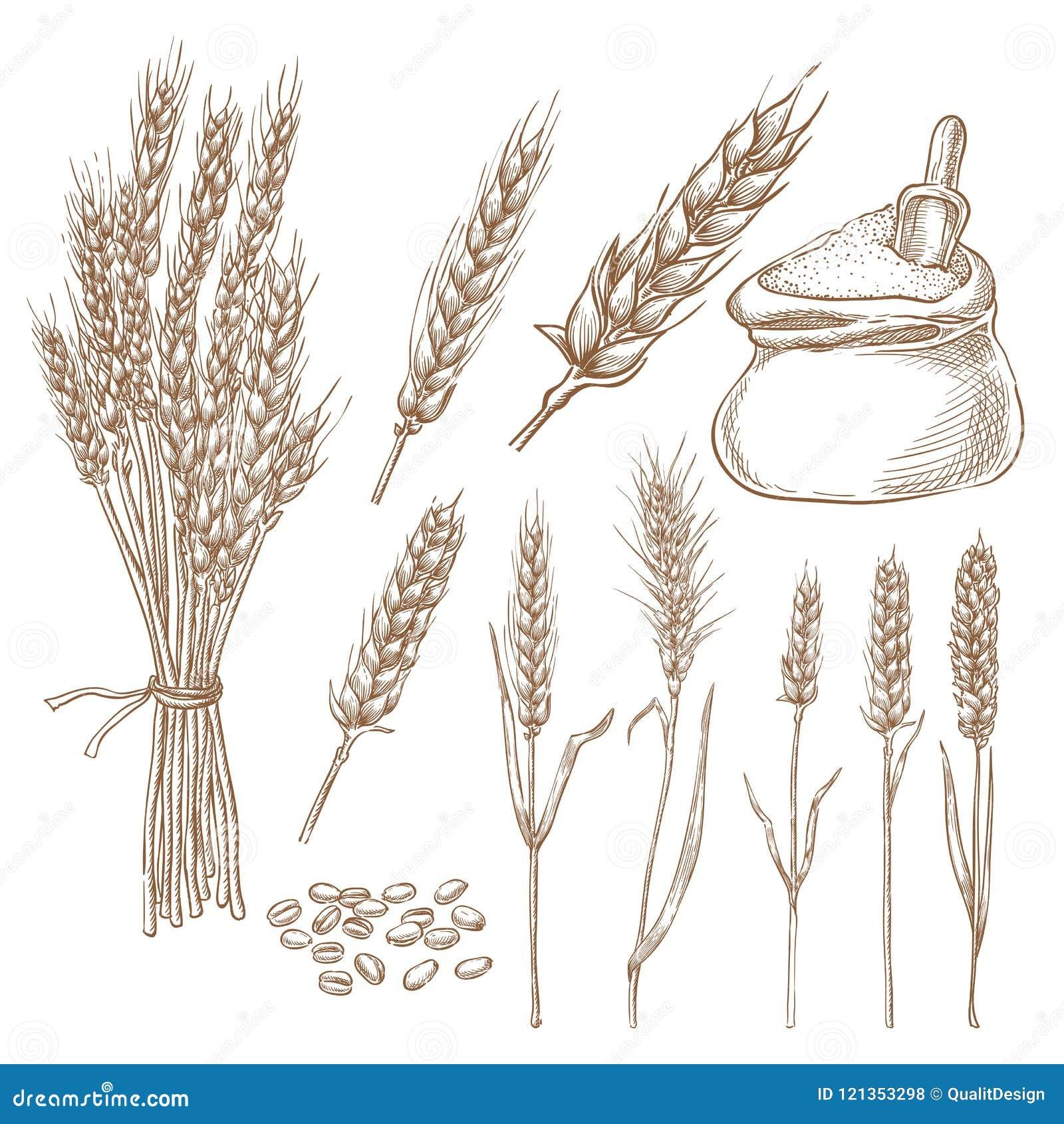 Os spikelets, a grão e a farinha do cereal do trigo ensacam a ilustração do esboço do vetor Elementos isolados tirados mão do pro