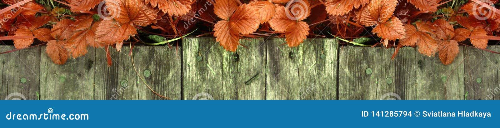 Os tiros e as folhas novos de arbustos de morango brilhantes sem bagas crescem perto da passagem de madeira