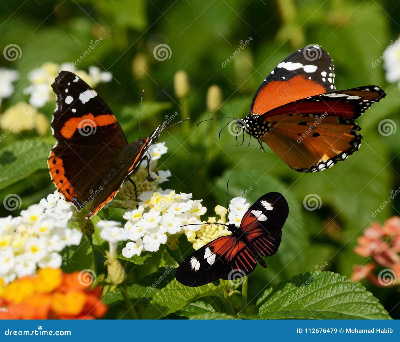 Os três buterflies