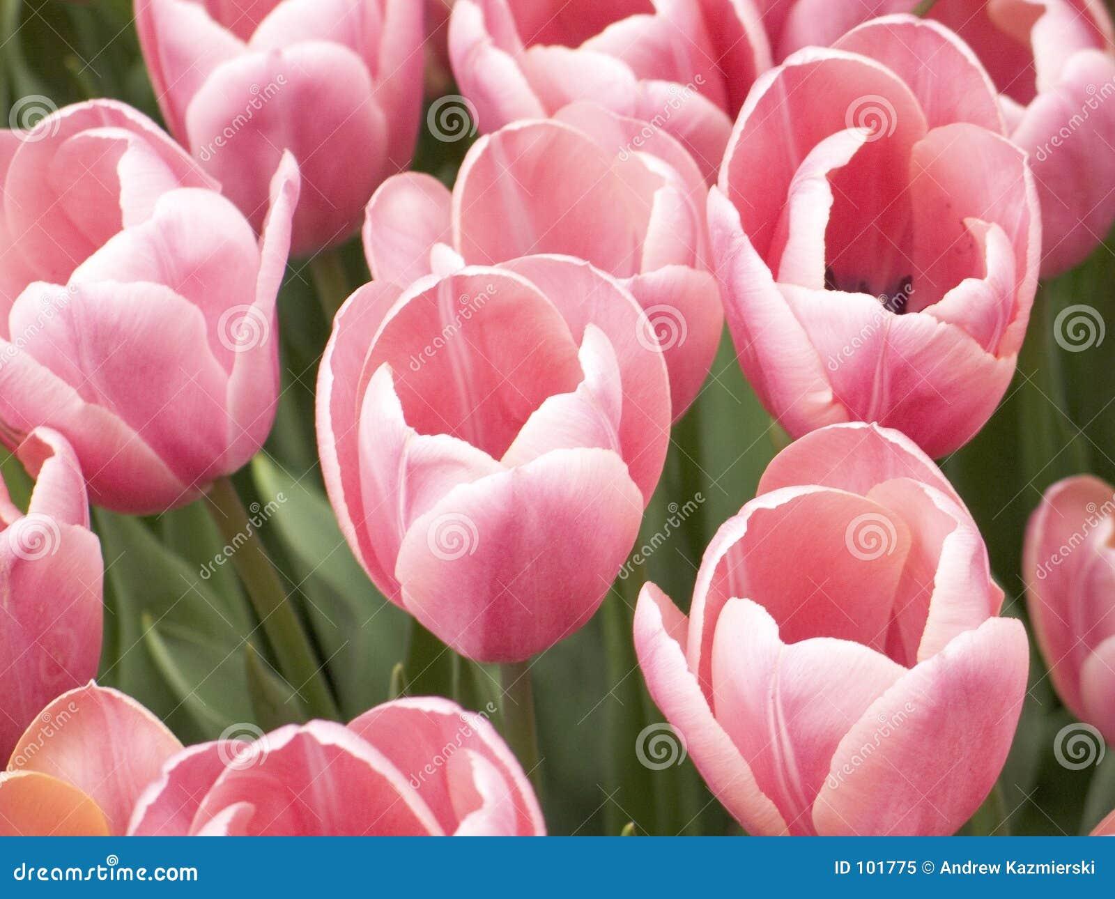 Os Tulips cor-de-rosa fecham-se acima