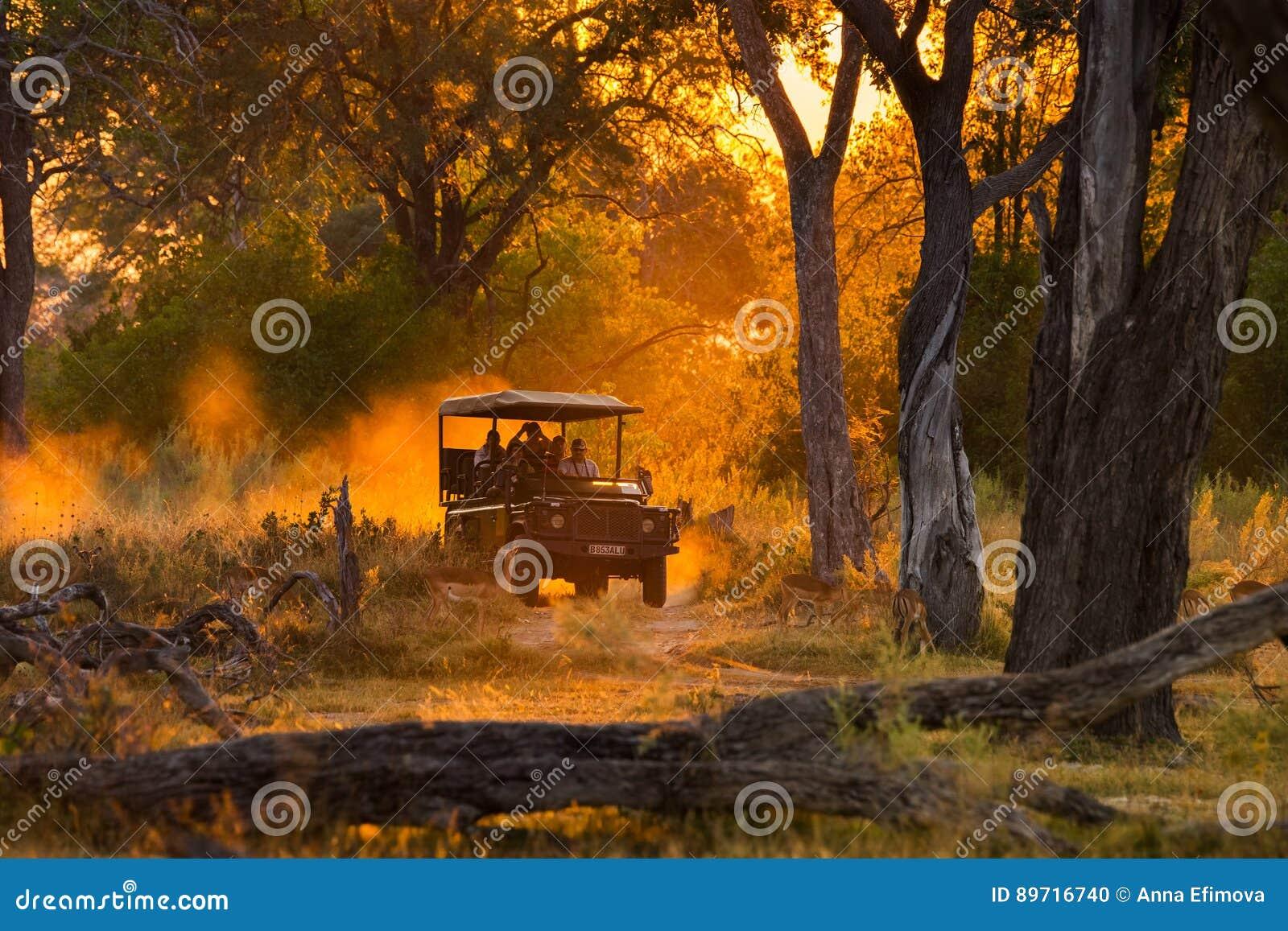 Os turistas que olham o rebanho da impala no jogo da noite conduzem