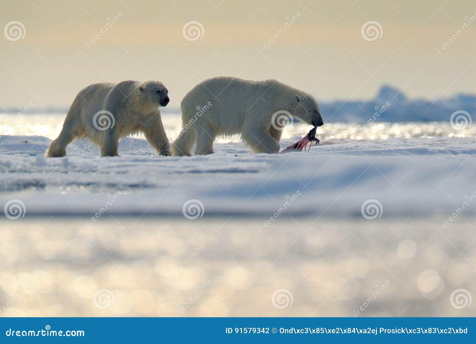 Os ursos polares dos pares com selo tamborilam após ter alimentado a carcaça no gelo de tração com neve e no céu azul em Svalbard