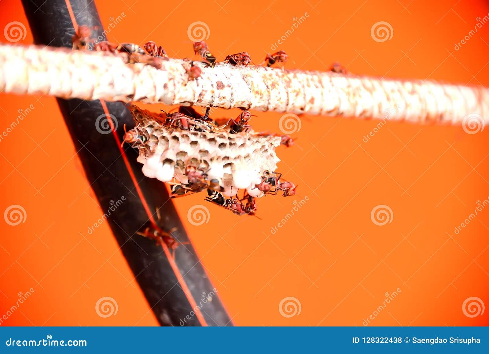 Os zangões estão tomando das larvas em seu ninho
