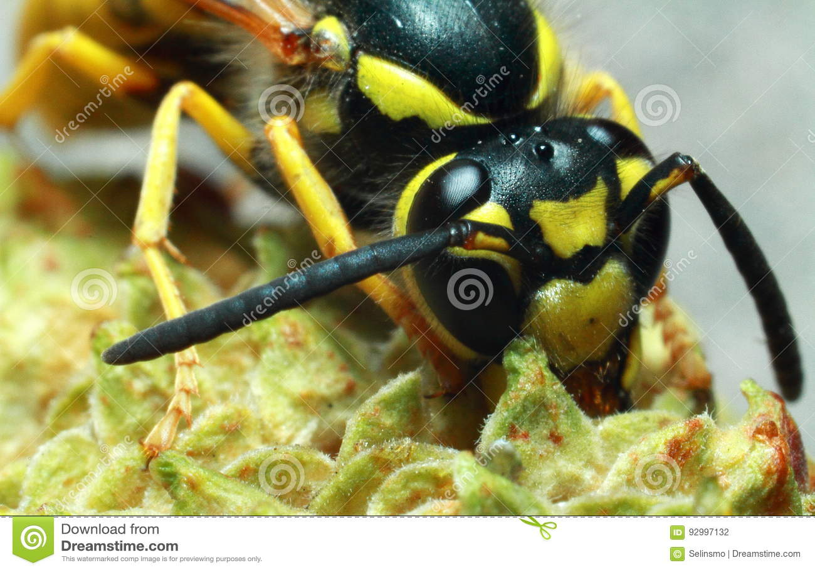 Osa insekt