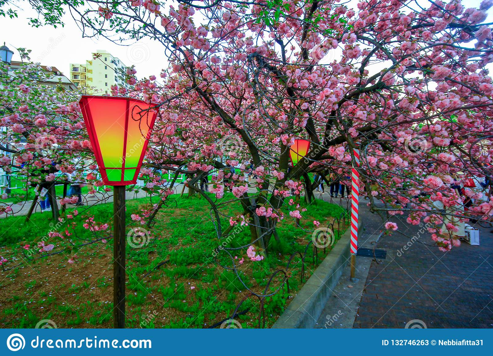 Osaka, Japão Luz e cores bonitas de lanternas japonesas e de flores de cerejeira