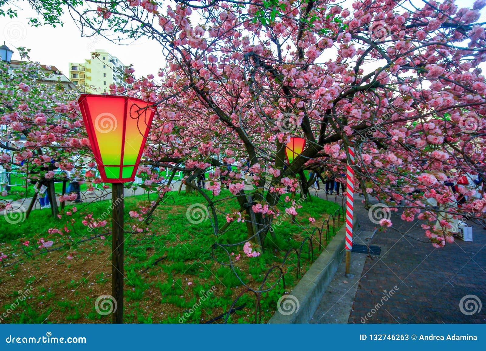 Osaka, Japan. Beautiful light and colours of Japanese lanterns and cherry blossoms