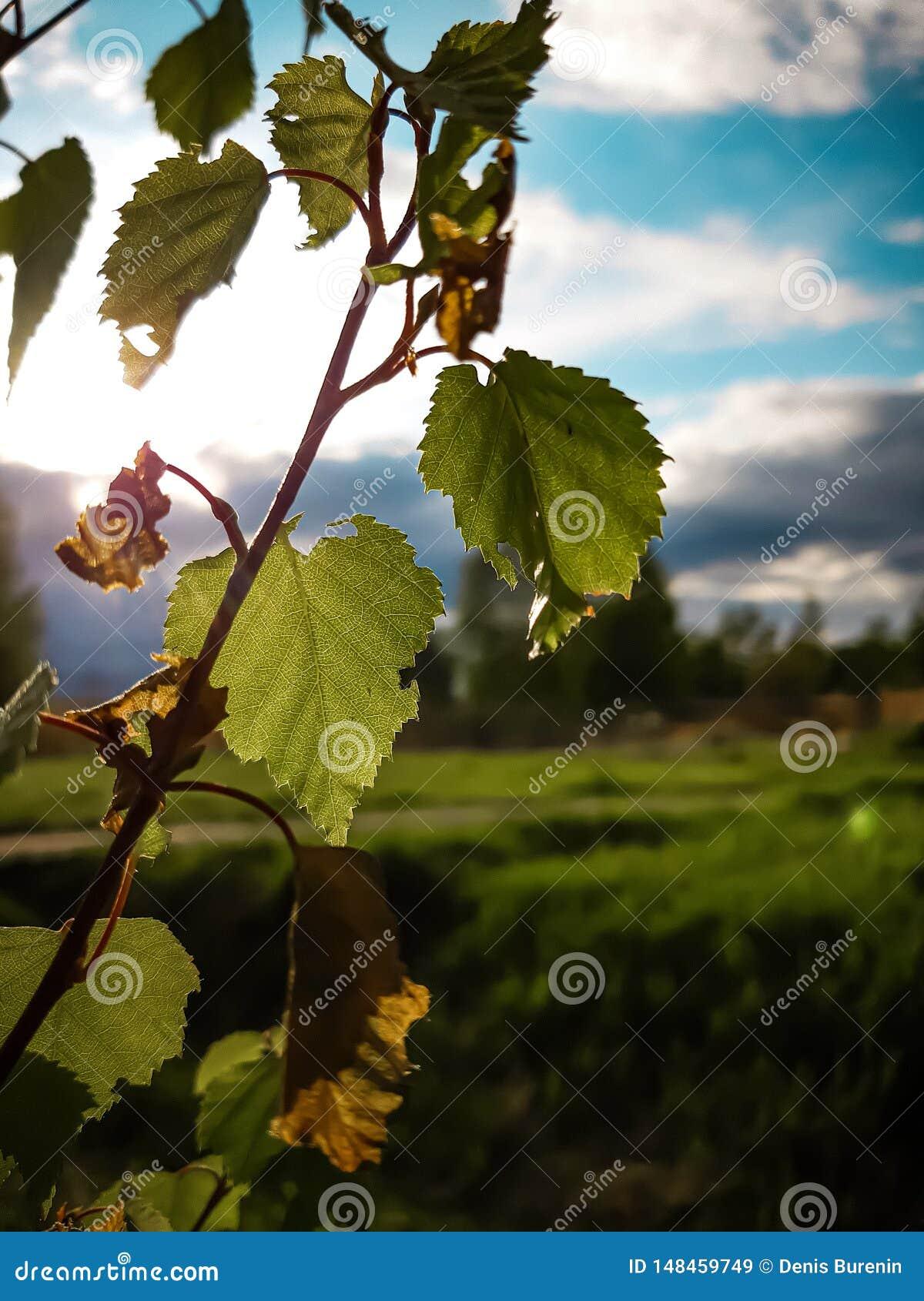 Osamotniona brzoza opuszcza przeciw pięknemu turkusowemu niebu