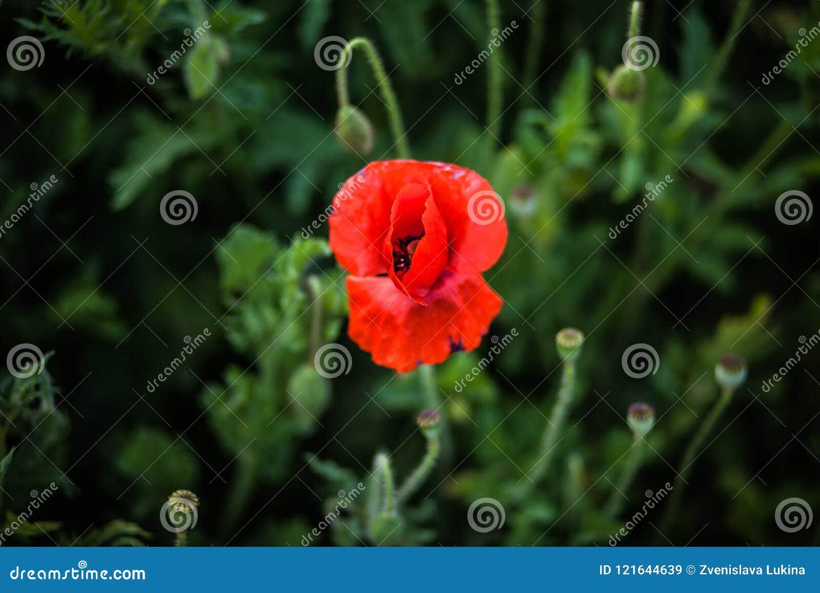 Osamotniony czerwony makowy kwiat po środku ramy, odgórny widok na tle zwarty ciemnozielony pole