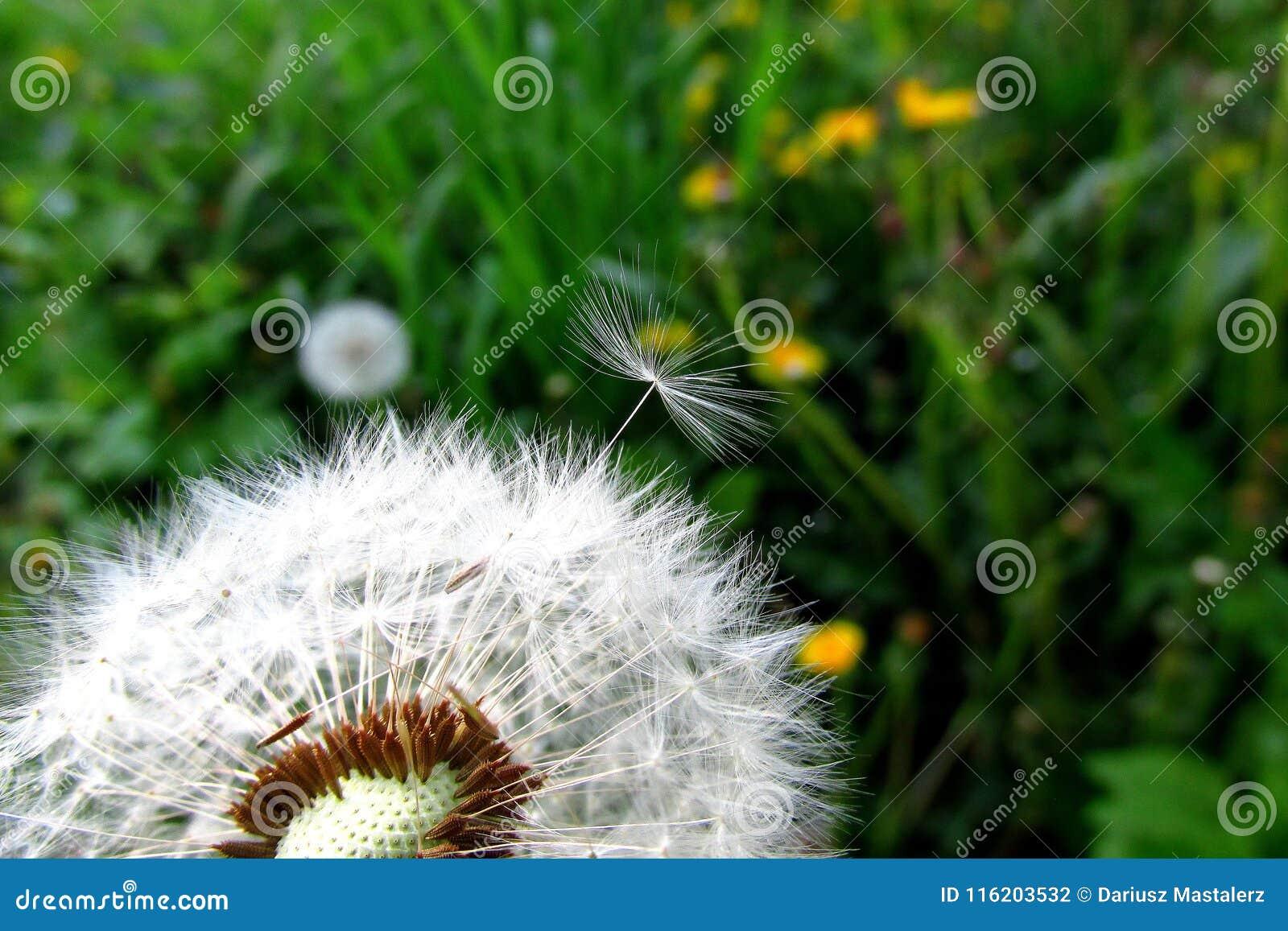 Osamotniony dandelion z zielonym tłem czeka dmuchającym daleko od