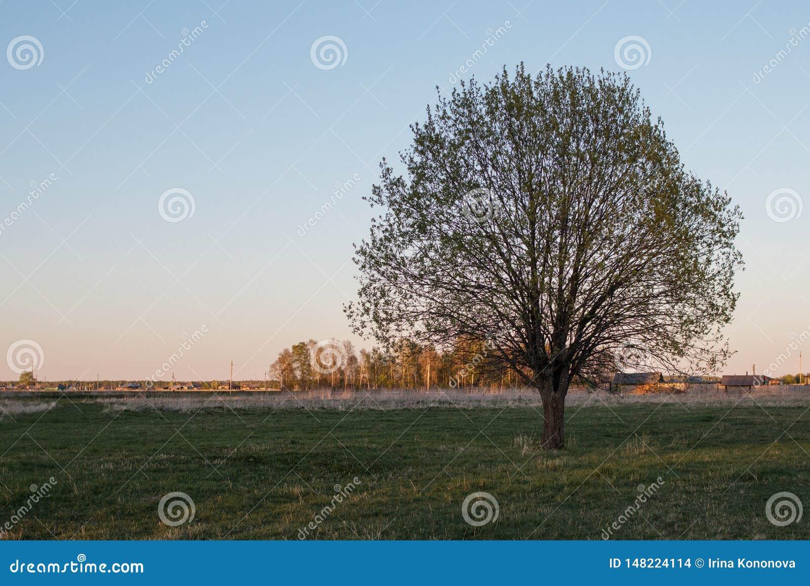 Osamotniony drzewo po środku pola przeciw wiosce Wspaniała korona Półotwarci liście niebieska spowodowana pola pe?ne si? chmura d