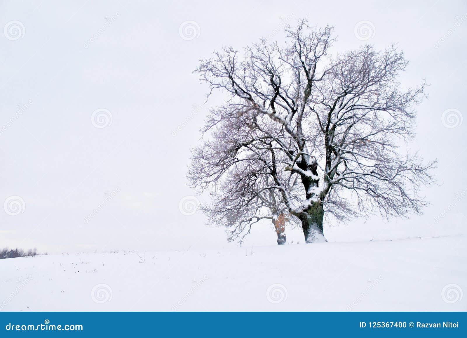 Osamotniony majestatyczny dębowy drzewo w zimie