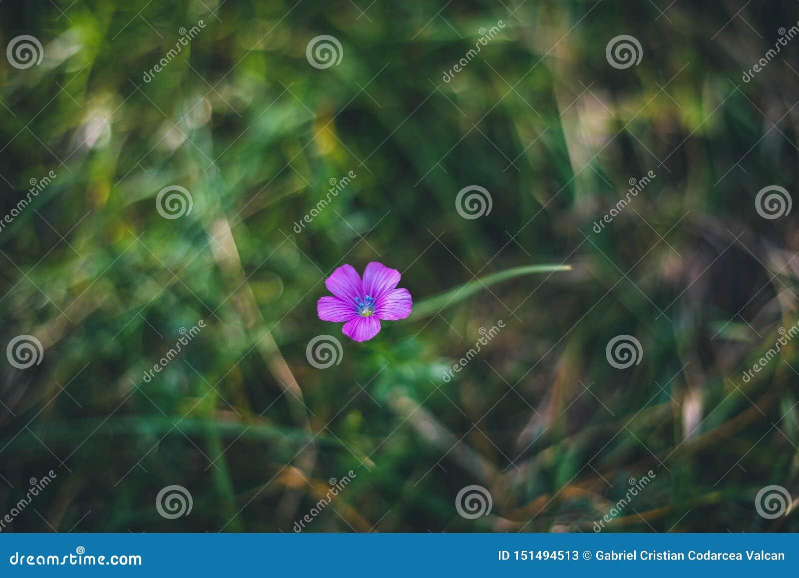 Osamotniony purpura kwiat na łąkowej trawie