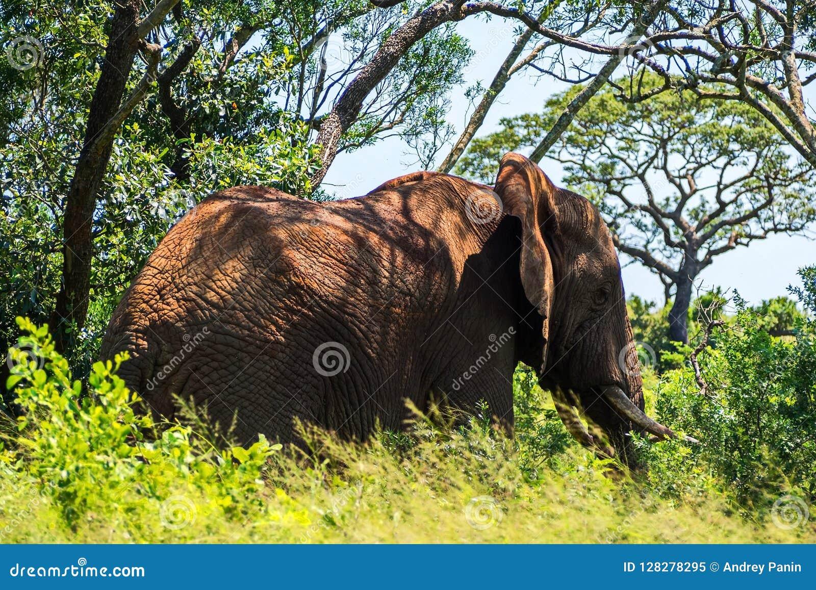 Osamotniony słoń w drzewach Safari w parkach narodowych Południowa Afryka