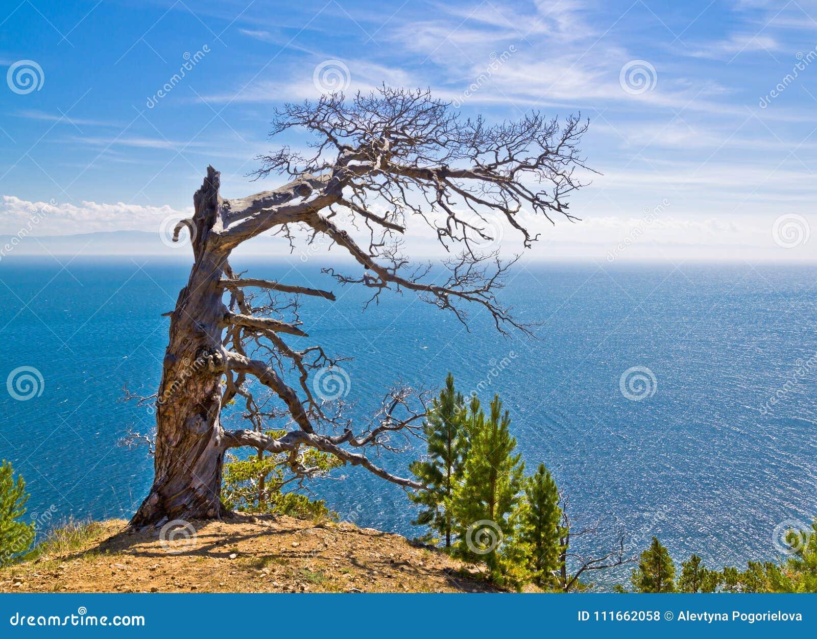 Osamotniony więdnący drzewo na górze nad morze pod niebieskim niebem