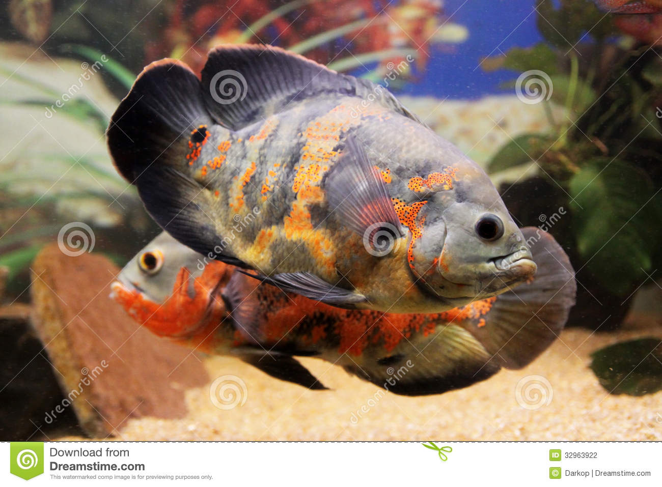 Oscar fish stock photo image of oscar aquarium tropical for Large aquarium fish