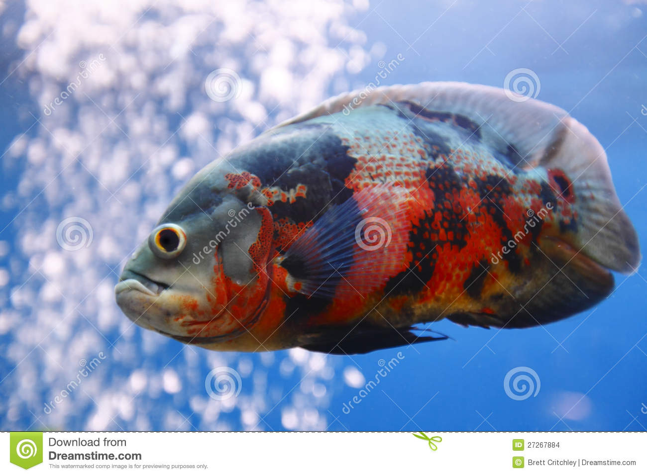 Oscar fish stock images image 27267884 for Fish and pets unlimited