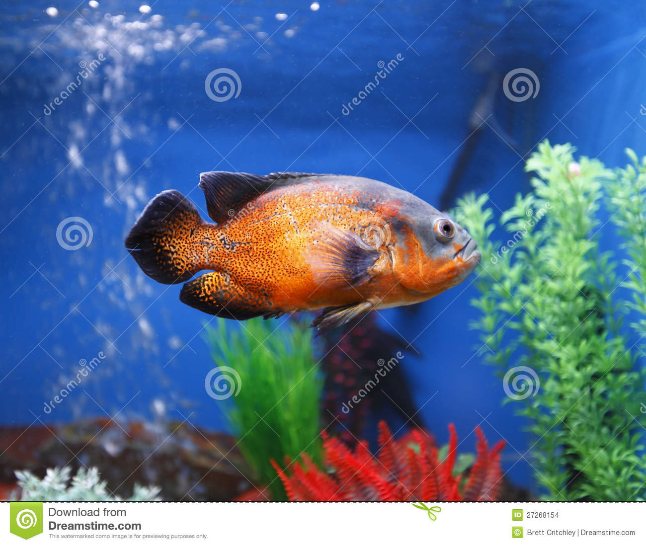 Oscar fish stock photo image of oscar fish water for Fish and pets unlimited