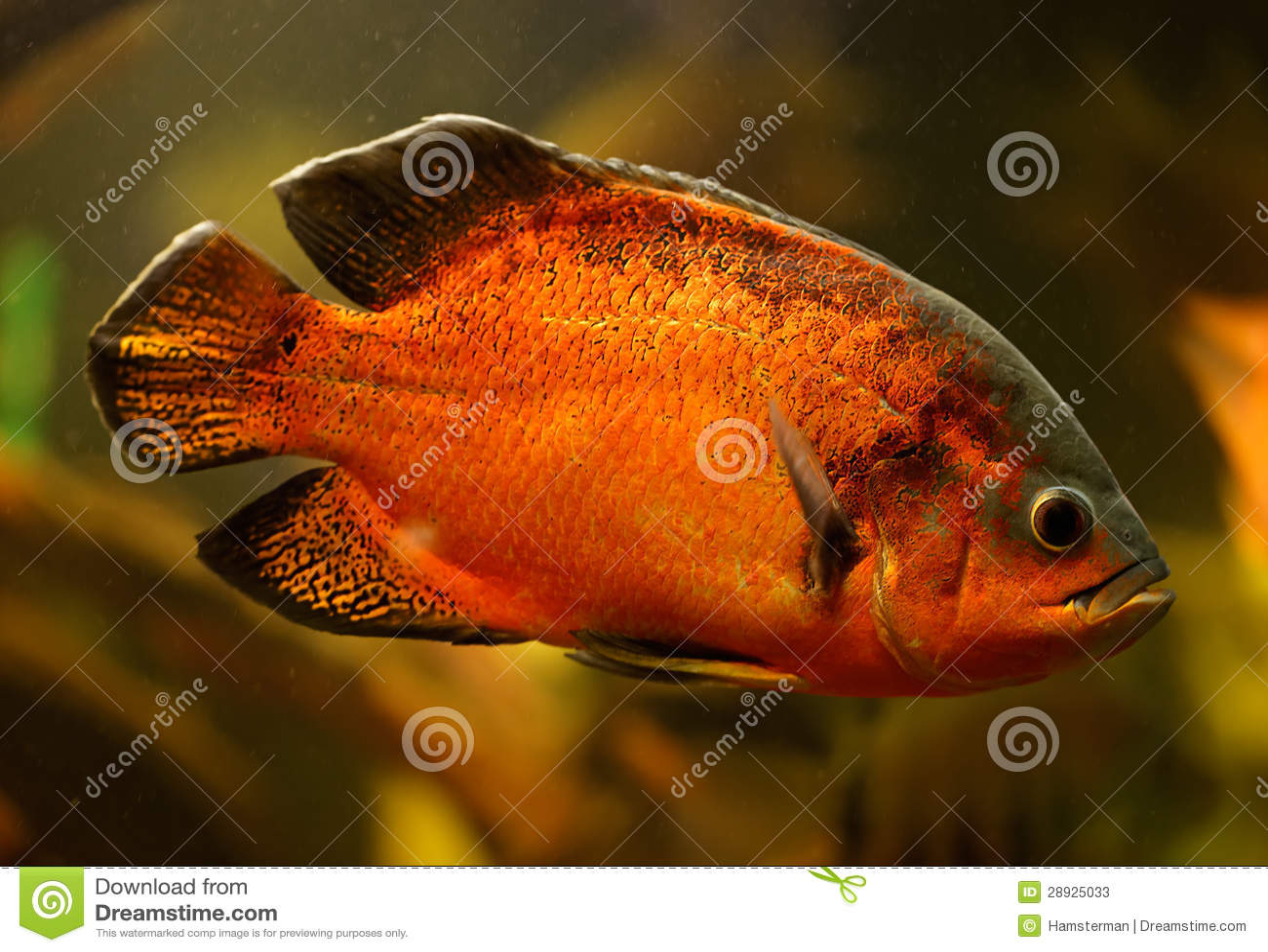 Oscar : Oscar Fish (Astronotus Ocellatus) Stock Photos - Image: 28925033